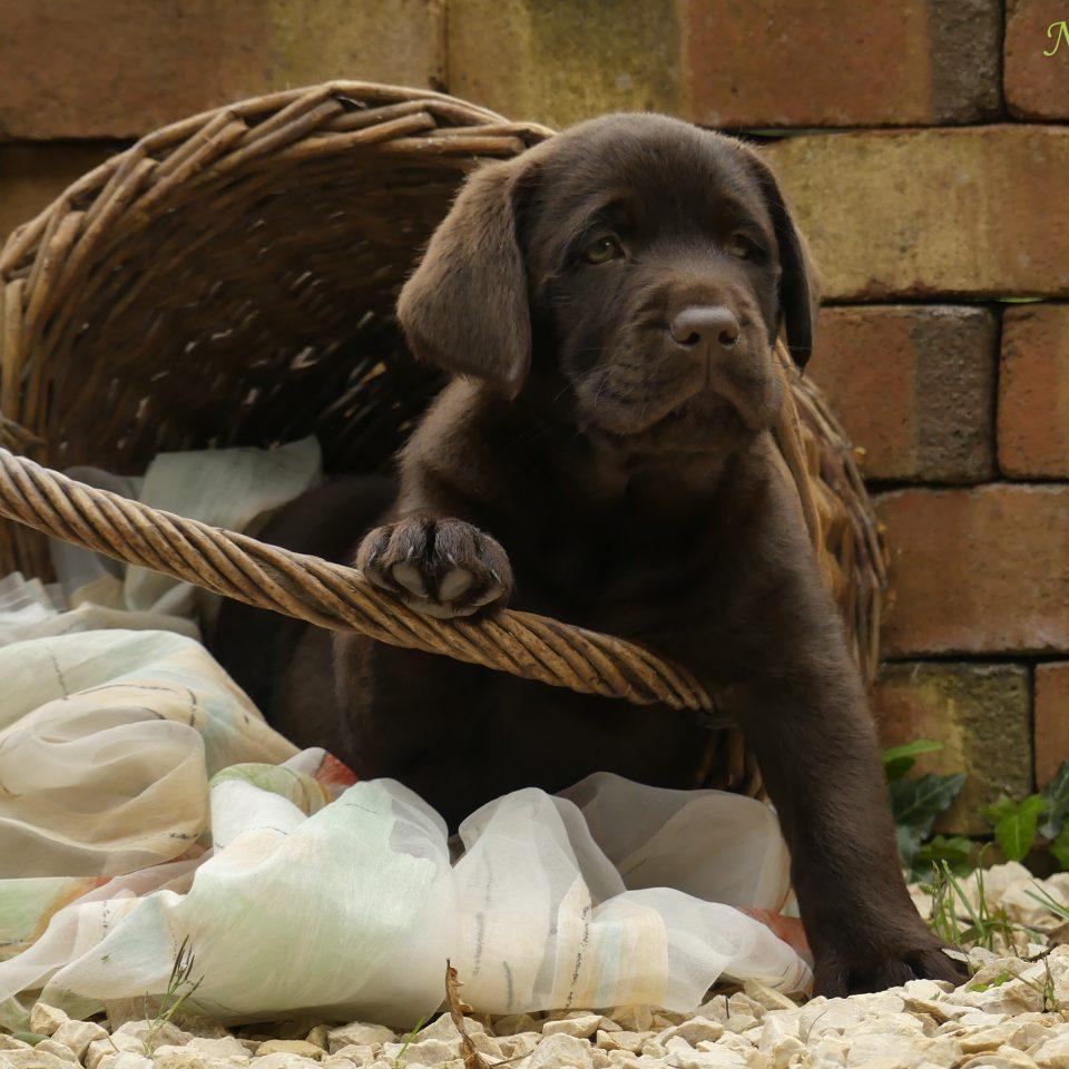 Welpen-Session – Labradore vom Nikolausdorferlande